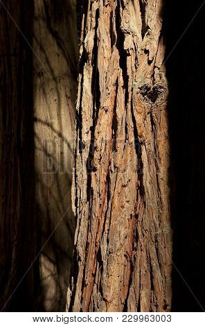 Beautiful Sequoia Tree Bark Texture With Soft Shadow In Background, Structure Of Cracks And Snag, Do