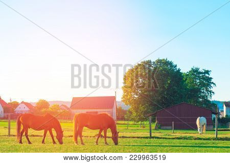 The Horses On The Farm Graze Summer