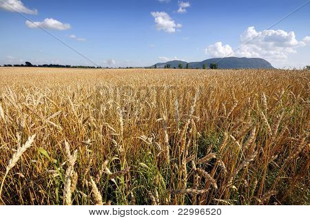 Golden Wheat Field And Blue Sky Background