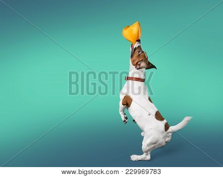 Dog Terrier Jack Russell Terrier One Animal Domestic Animal Brown And White Fun