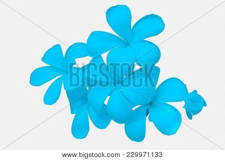 Blue Flower, Close Up Petal Of Blue Plumeria Flower On White Background Or Blue Flower Isolated Use