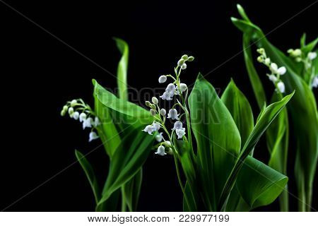 Fresh Spring Flowers Lily Of The Valley On A Black Background.