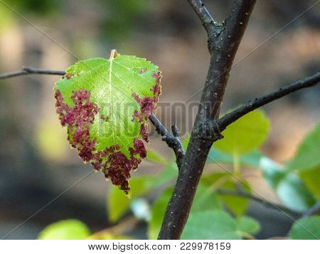 Branch With Ill Leaf Of Apple Scab Disease, Bacterial Scorch On Apple Tree. Illness Of Garden Tree,