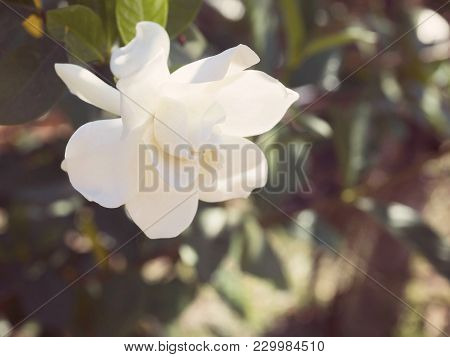 Gardenia Jasminoides Flower As Known As Cape Jasmine Flower Blown By The Wind In The Morning Sunligh