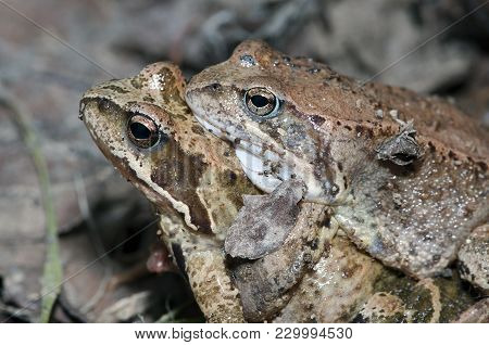 Two Frogs In A Mating Season, Macro