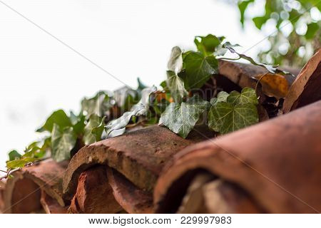 An Ivy Vine Sprawling On Worn-out Roof Tiles On And Old Fence