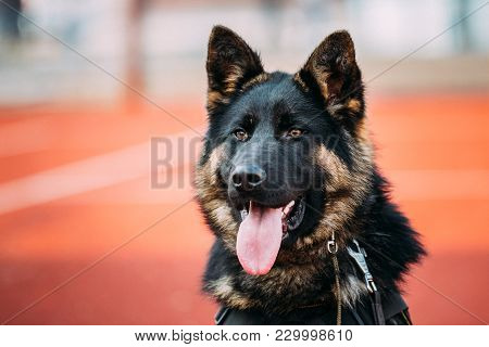 Close Up Young Alsatian Wolf Dog German Shepherd Dog