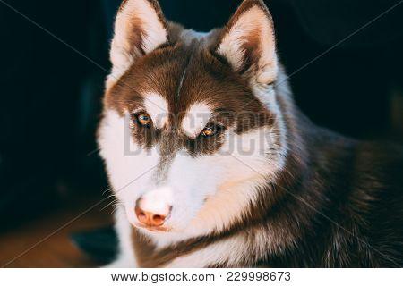 Close Up Funny Young White And Brown Husky Eskimo Dog