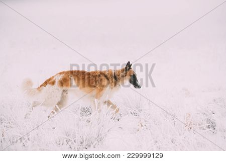 Russian Wolfhound Hunting Sighthound Russkaya Psovaya Borzaya Dog During Hare-hunting At Winter Day