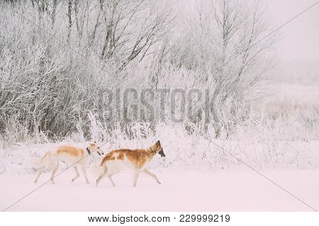 Two Russian Wolfhound Hunting Sighthound Russkaya Psovaya Borzaya Dogs During Hare-hunting At Winter