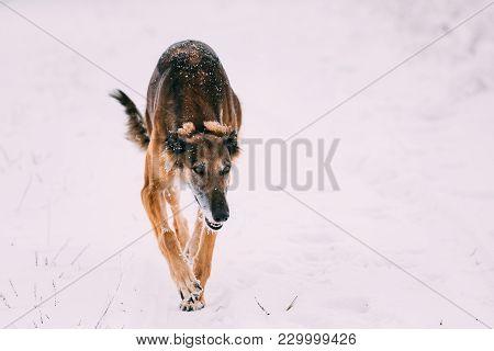 Hunting Sighthound Hortaya Borzaya Dog During Hare-hunting At Winter Day In Snowy Field.