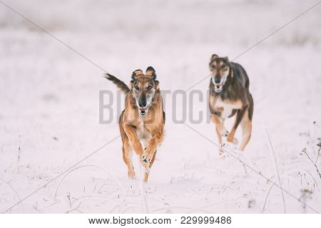 Two Hunting Sighthound Hortaya Borzaya Dogs During Hare-hunting At Winter Day In Snowy Field.