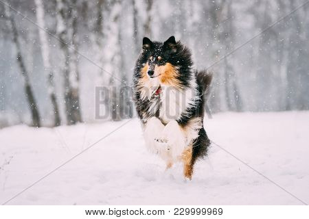 Funny Young Shetland Sheepdog, Sheltie, Collie Playing Outdoor In Snow, Winter Season. Playful Pet O