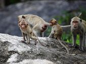 little monkey and family on the rock mountain and looking eyes contact poster