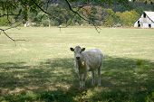 one lonely, single cow in the field. poster