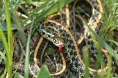 This western plains garter snake was photographed in central Kansas. poster