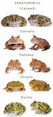 The horned frogs set, isolated on white background poster