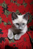 Small purebred lilac point Siamese kitten on red poinsettia tapestry chair. poster