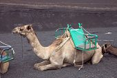 Camel at Timanfaya National Park Lanzarote Canary Islands Spain poster