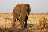 A very old African Elephant in the Kruger National Park South Africa. poster