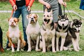 Two American Bulldog Dog, Alsatian Wolf Dog Or German Shepherd Dog And Two Husky Dog Sitting Together In Green Grass. poster