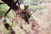 Young lion relaxing an a tree branch in Lake Manyara National Park Tanzania poster