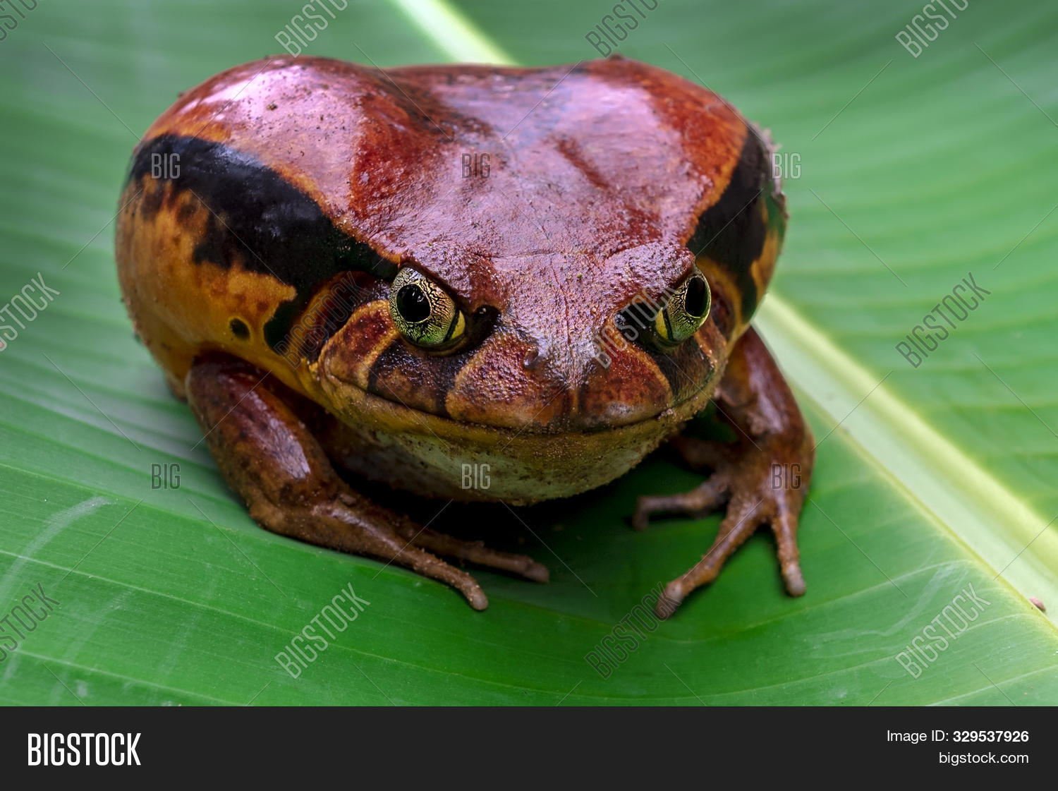 Tomatofrog, One Of The Bigger Amphibians In Madagascar