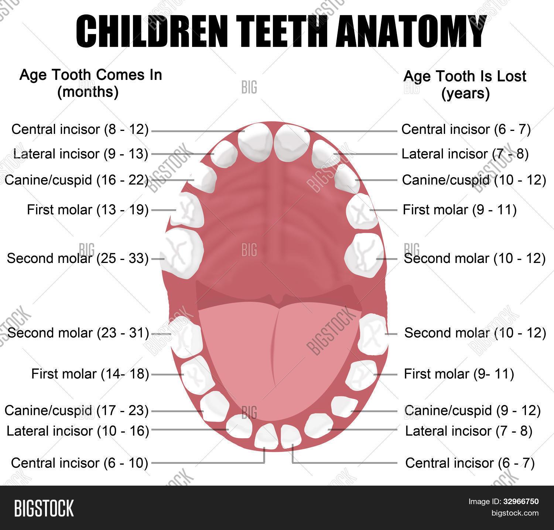 Anatomy Children Vector & Photo (Free Trial)   Bigstock