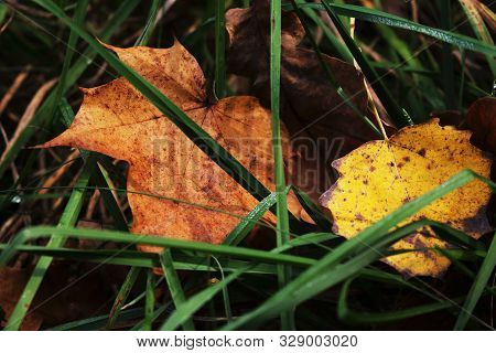 Maple And Aspen Yeallow Leaves Hiding In Green Grass