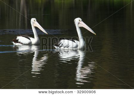 Two Pelicans - Follow the Leader