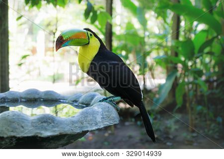Keel-billed Toucan, Ramphastos Sulfuratus, With Colorful Beak At A Pool In Macaw Mountain Bird Park,