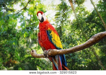Kinky Red Macaw Or Scarlet Macaw Ara Macao With Green Sunny Jungle Background In Macaw Mountain Bird