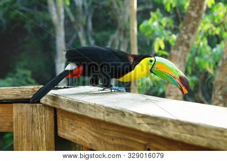 Jumping Keel-billed Toucan, Ramphastos Sulfuratus, With A Berry In The Colorful Beak In Macaw Mounta