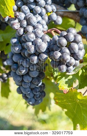 Close-up Of Ripen Merlot Red Wine Grapes Ready For Harvesting