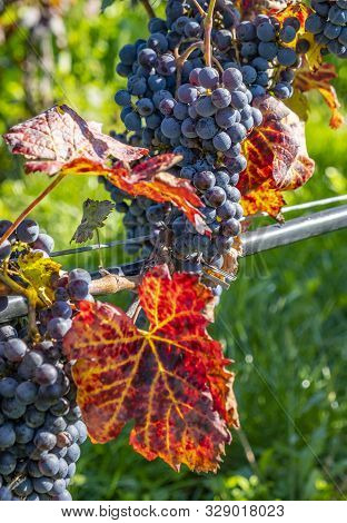 Close-up Of Ripen Cabernet Franc Grapes Ready For Harvesting