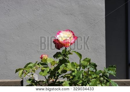 This Is An Image Of A Rose Growing In Carmel, California.