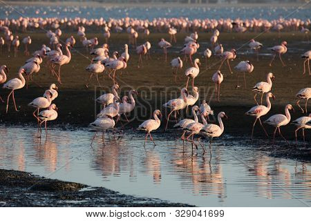 The atlantic coast of Namibia. Sunrise. White and pink flamingos are picturesquely reflected in smooth water. Swakopmund. Interesting and useful birdwatching. Africa