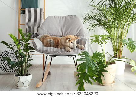 Cute Akita Inu Dog On Rocking Chair In Room With Houseplants