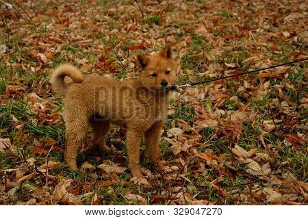 Karelian-finnish Husky Puppy In A Collar And With A Leash Against The Background Of Autumn Foliage