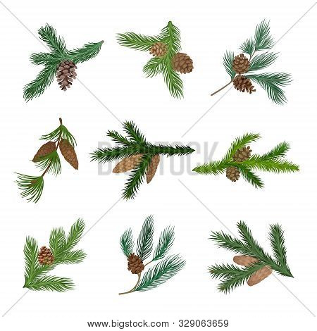Set Of Spruce And Pine Branches With Cones. Vector Illustration.
