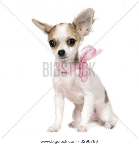 Chihuahua (18 Weeks)