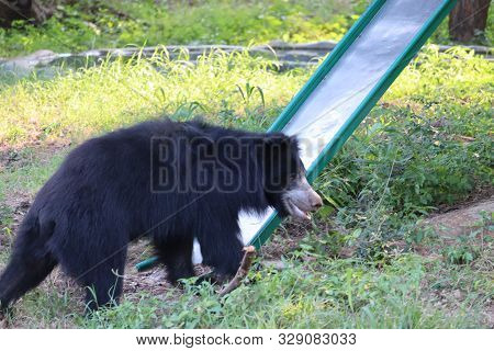 A Single Wild Black Bear Cub Searches For Food Along A Hillside Overturning Rocks Among Young Evergr