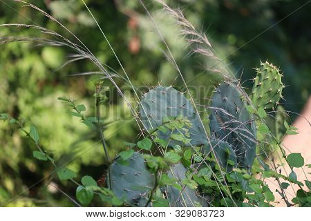 Fresh Succulent Cactus Closeup On Blue Sky. Green Plant Cactus With Spines And Dried Flowers