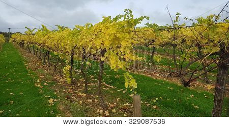 Vineyard In England. Vineyard In The Weald In Kent In England. Autumn Vines. Rows Of Grapevines In A