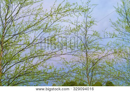 New Lime Green Spring Leaves Of Silver Birch Trees With Blue Sky And Pink Clouds