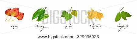 Vector Set With Lettering And Vector Illustrations Of Aspen, Cherry, Poplar, Tulip Tree, Dogwood. Ec