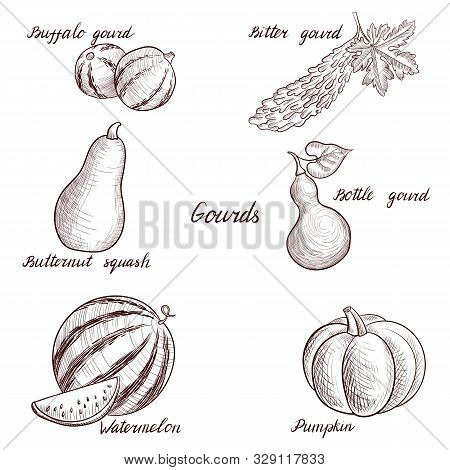 Vector Drawing Gourds, Pumpkins And Watermelon, Hand Drawn Illustration