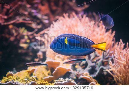 Blue Tang Fish Paracanthurus Hepatus Swimming In Water. Popular Fish In Marine Aquarium, Needs A Lar