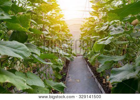Butternut Squash Green Leaf Plantation In The Greenhouse
