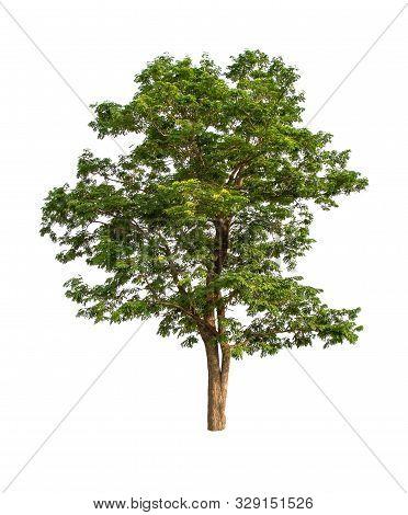 Isolated Big Tree On White Background. Large Trees Database Botanical Garden Organization Elements O
